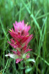 Rhexia-leaved paintbrush (Castilleja rhexifolia) Photo