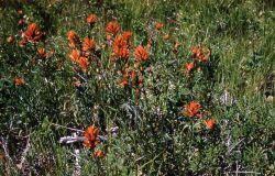Scarlet paintbrush (Castilleja miniata) Photo