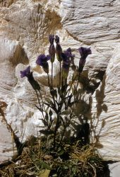 Small fringed gentian (Gentianopsis detonsa) Photo