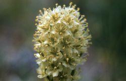 Meadow deathcamas (Zigadenus venenomus var. gramineus) Photo