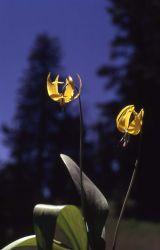 Glacier lily (Erythronium grandiflorum var. grandiflorum) Photo