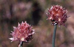 Chives (Allium schoenoprasum) Photo