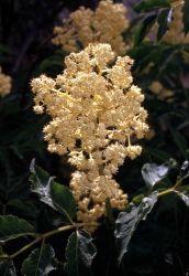 Elderberry (Sambucus racemosa var. melanocarpa) Photo
