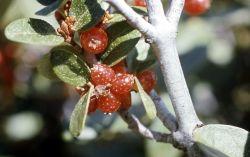 Buffaloberry (Shepherdia canadensis) Photo