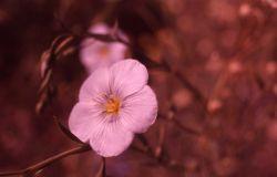 Blue flax (Linus lewisii var. lewisii) Photo