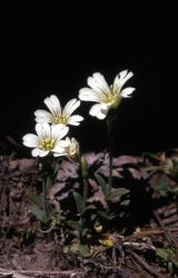 Field chickweed (Cerastium arvense) Photo