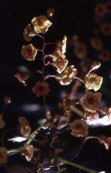 Swamp gooseberry (Ribes lacustre) Photo