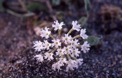 Sand verbena (Abbronia ammophila) Photo