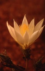 Sand lily (Mentzelia decapetala) Photo