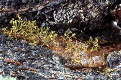 American dwarf mistletoe (Arceuthobium americanum) Image