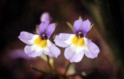 Porterella (Porterella carnosula) Photo