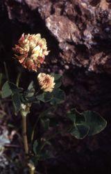 Alsike clover (Trifolium hybridum) Image