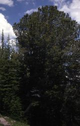 Spruce & fir forest growing under white bark pine Photo