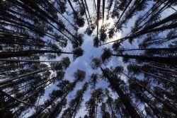 Lodgepole forest looking upward Photo
