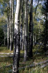 Aspen forest Image