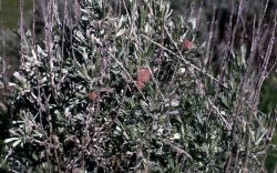 Insect galls on sage Photo