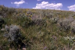 Slope before invasion of dalmation toadflax Photo