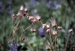 Prairie smoke avens (Geum triflorum) going to seed on the Garnett Hill trail Photo