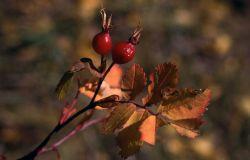 Wood's rose (Rosa woodsii) hips Photo