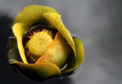 Indian pond lily (Nuphar polysepalum) Photo