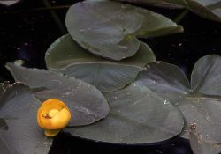 Indian pond lily (Nuphar polysepalum) in bloom Photo