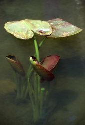 Indian pond lily (Nuphar polysepalum) pads emerging Photo
