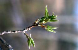 New Aspen leaves Photo