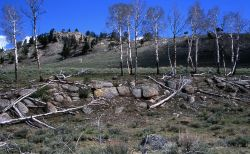 Aspens budding at Forces of the Northern Range Trail Image