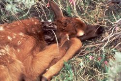 Elk calf mortality study - collared calf in Gardner's Hole Photo