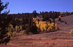 Aspen grove with fall color Image