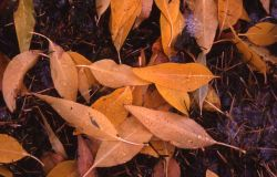 Aspen leaves with fall color in the Mammoth Hot Springs area Image