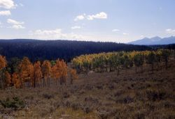 Aspens with fall color - Gallatin Range in distance Image