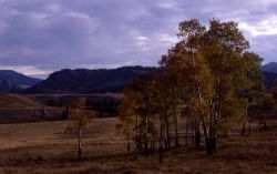 Aspen grove with fall color near Lamar River Image