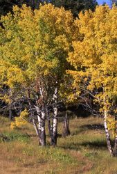 Aspens with fall color Image