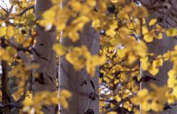 Close up of aspen trunks & leaves with yellow fall color near Mammoth Hot Springs Photo