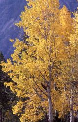 Aspen trees with yellow fall color near Mammoth Hot Springs Image