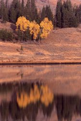 Aspen trees with yellow fall color & reflection in Swan Lake Image