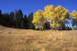 Aspen trees with fall color at Little America Flats Image