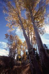Fall color in an aspen grove Photo