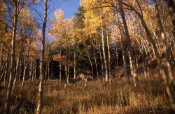 Aspens in the Beartooth Mountains Image