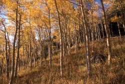 Aspens in the Beatooth Mountains Image