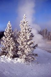 Evergreens in winter in the Norris area Photo