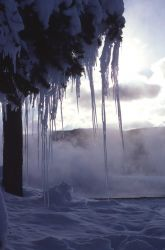 Icicles on tree near thermal steam - Upper Geyser Basin Photo