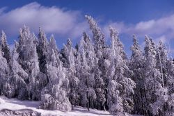Iced trees from Steamboat Geyser Photo