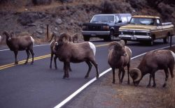 Bighorn sheep & traffic in Gardner Canyon Photo