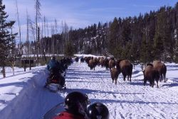 Snowmobiles passing bison in the winter on West entrance road on Presidents Day weekend Photo