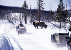 Snowmobiles passing bison near Roaring Mtn. Photo