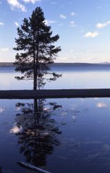 Reflection in Yellowstone Lake of silhouette pine Photo