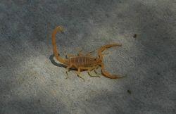 Arizona Bark Scorpion Photo