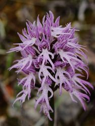 Naked Man Orchid Photo